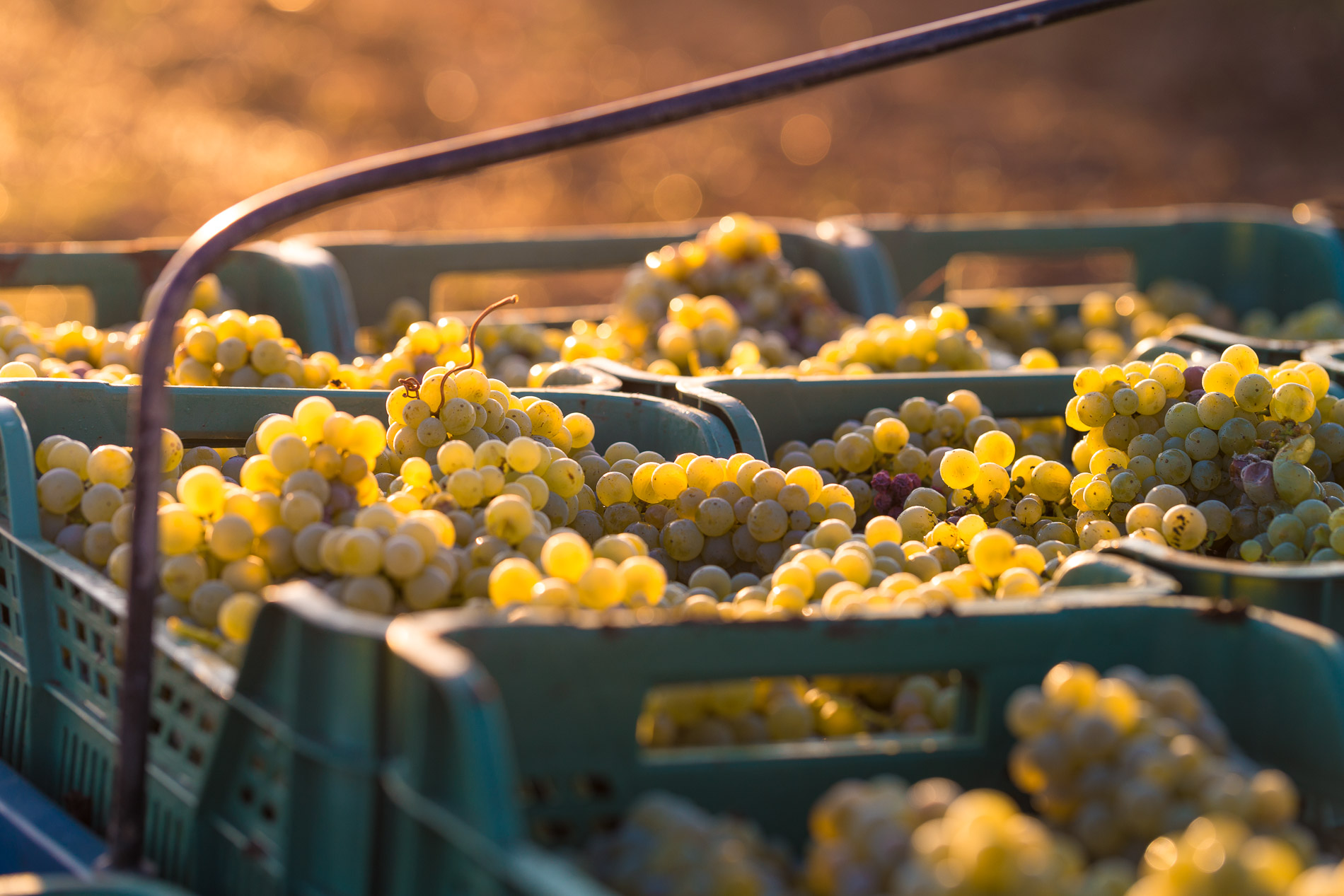 12.7 THOUSAND TONS OF GRAPES WERE HARVESTED IN KOBLEVO